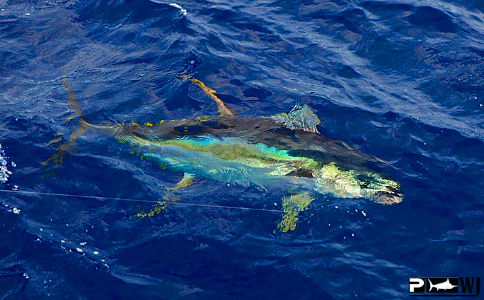 The waterman 39 s journal global sportfishing news reports for Kite fishing for tuna